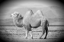 China's-booming-camel-milk-industry